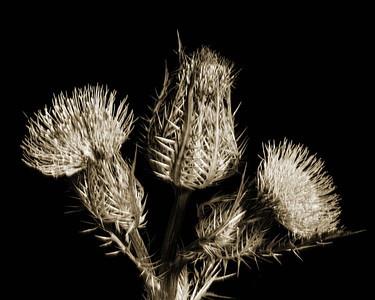Thistle Wild flower in Black and White 213.2128