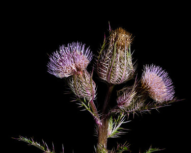 Thistle Wild flower in Color 112.2128