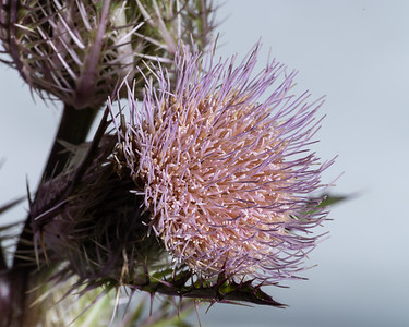 Thistle Wild flower in Color 100.2128