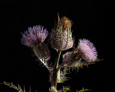 Thistle Wild flower in Color 111.2128