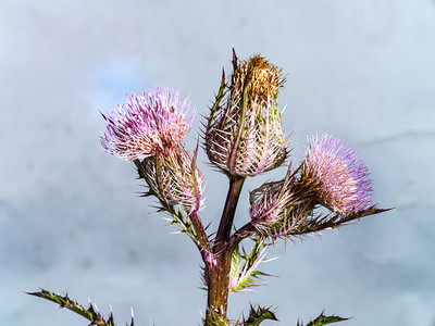 Thistle Wild flower in Color 109.2128