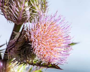 Thistle Wild flower in Color 102.2128