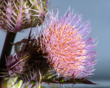 Thistle Wild flower in Color 104.2128