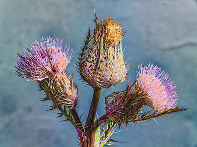 Thistle Wild flower in Color 107.2128