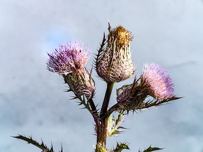 Thistle Wild flower in Color 108.2128