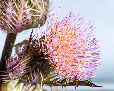 Thistle Wild flower in Color 103.2128