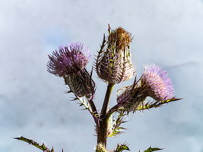 Thistle Wild flower in Color 110.2128