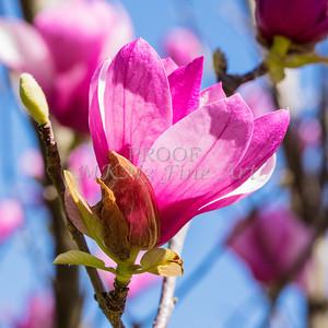 Floweer Art Tulip Tree Bloom 1806.126