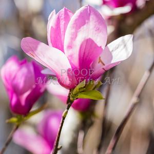 Canvas Print Tulip Tree Bloom 1806.132