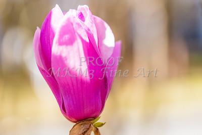 Canvas Art Tulip Tree Bloom 1806.135