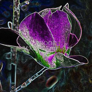 Tulip Tree Dark Flower Imaage Drawing 1806.804