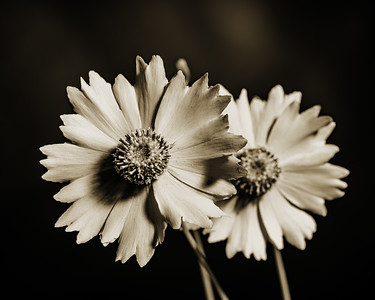Yellow Daisy in Black and White 210.2132
