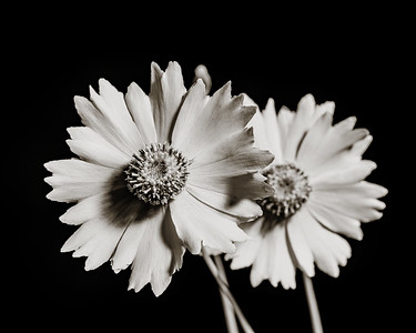 Yellow Daisy in Black and White 208.2132