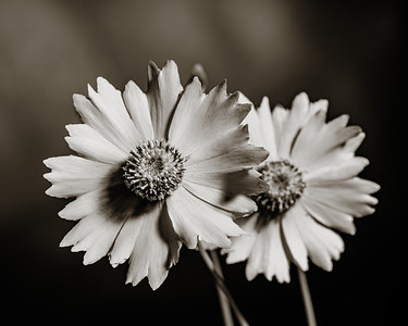 Yellow Daisy in Black and White 209.2132