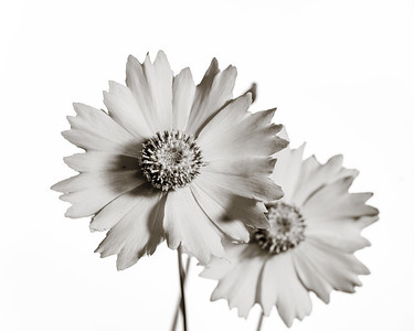 Yellow Daisy in Black and White 207.2132