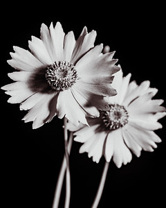 Yellow Daisy in Black and White 212.2132