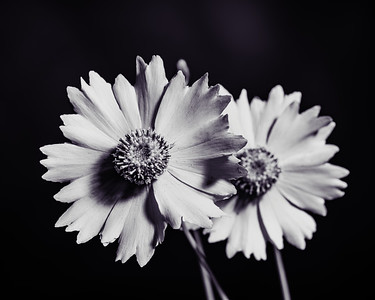 Yellow Daisy in Black and White 211.2132