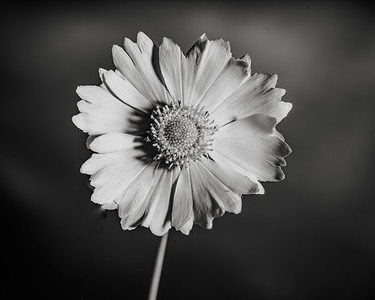 Yellow Daisy in Black and White 203.2132