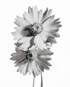 Yellow Daisy in Black and White 206.2132