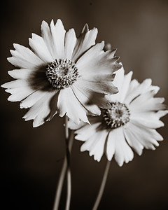 Yellow Daisy in Black and White 213.2132