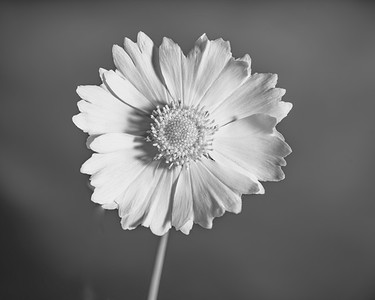 Yellow Daisy in Black and White 202.2132