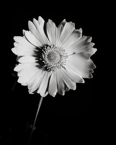 Yellow Daisy in Black and White 200.2132