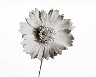 Yellow Daisy in Black and White 204.2132