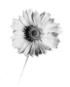 Yellow Daisy in Black and White 205.2132