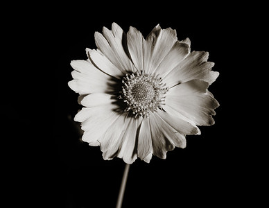 Yellow Daisy in Black and White 201.2132