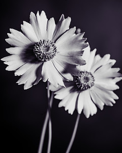 Yellow Daisy in Black and White 214.2132