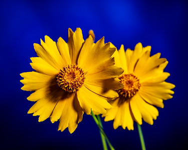 Yellow Daisy in Color 114.2132