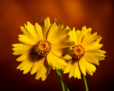 Yellow Daisy in Color 112.2132