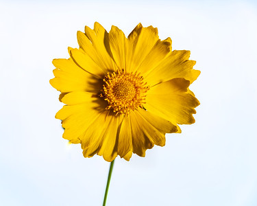 Yellow Daisy in Color 104.2132