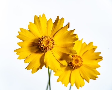 Yellow Daisy in Color 108.2132