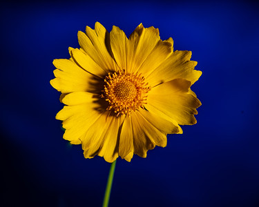 Yellow Daisy in Color 102.2132