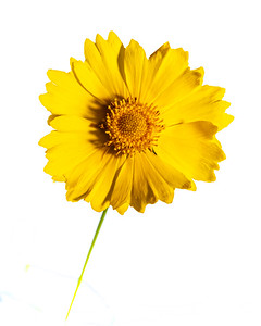 Yellow Daisy in Color 105.2132