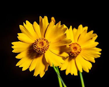Yellow Daisy in Color 109.2132