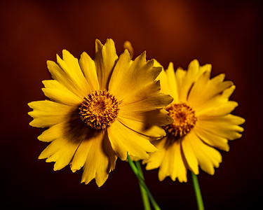 Yellow Daisy in Color 113.2132