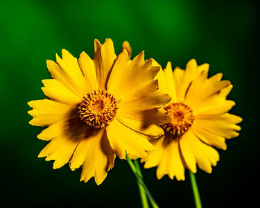 Yellow Daisy in Color 110.2132