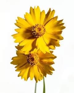Yellow Daisy in Color 107.2132