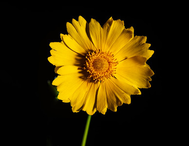 Yellow Daisy in Color 101.2132