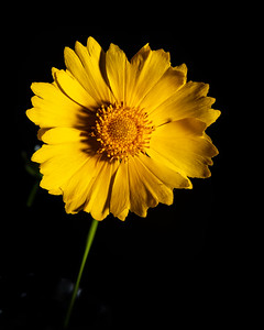 Yellow Daisy in Color 100.2132