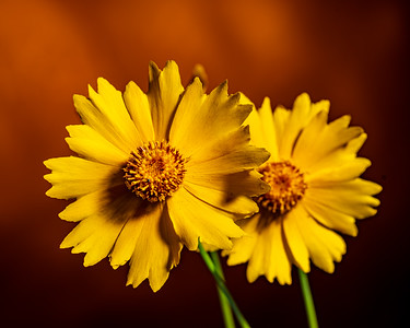 Yellow Daisy in Color 111.2132