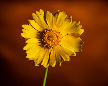 Yellow Daisy in Color 103.2132