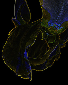 Dark Drawing of Iris Flower 401.2127