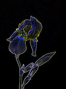 Dark Drawing of Iris Flower 403.2127