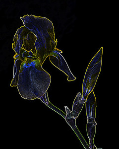 Dark Drawing of Iris Flower 411.2127
