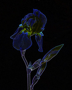 Dark Drawing of Iris Flower 409.2127