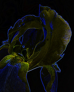 Dark Drawing of Iris Flower 400.2127