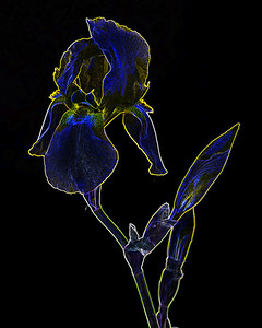 Dark Drawing of Iris Flower 405.2127